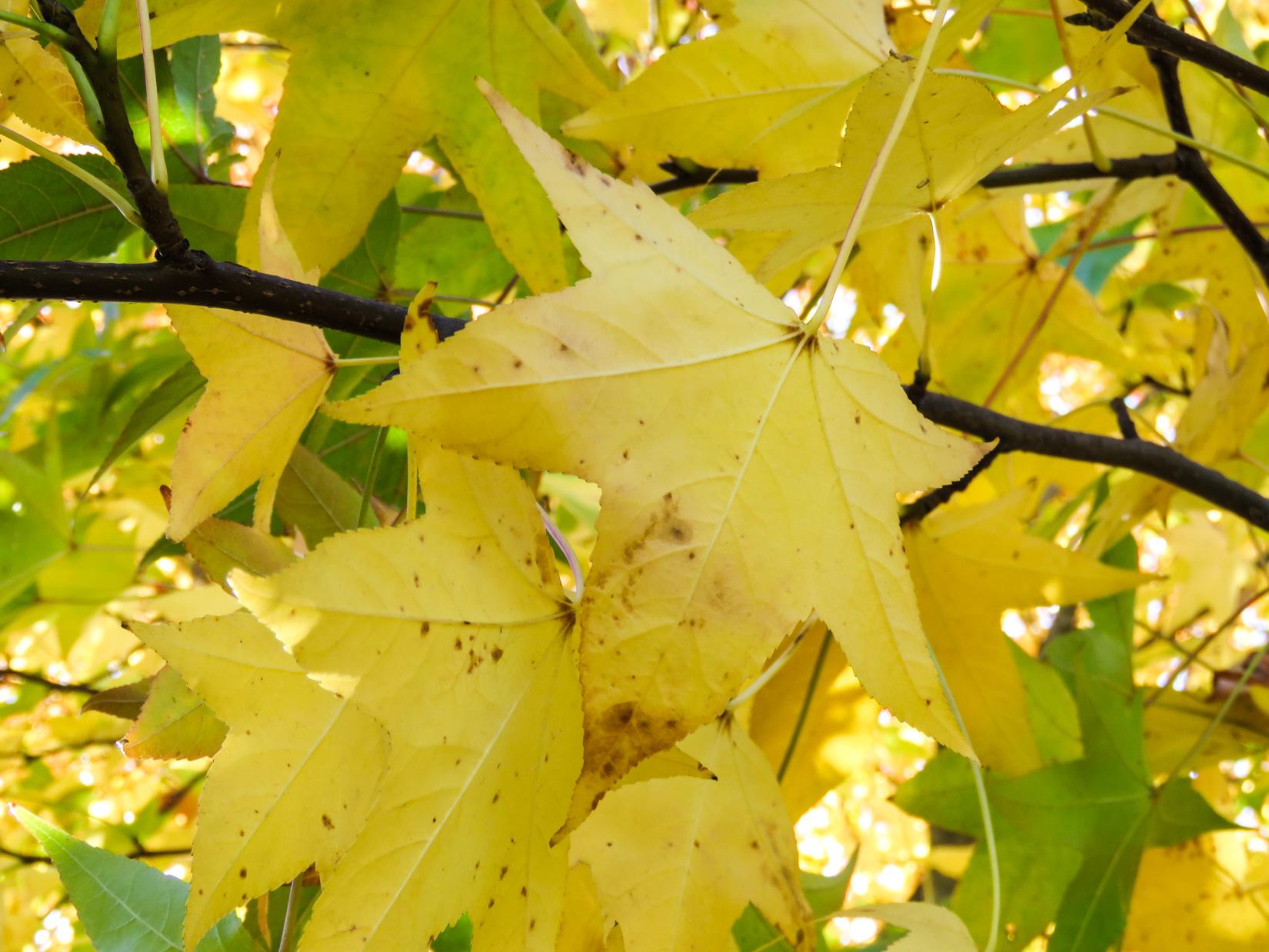 Yellow Leaves Macro