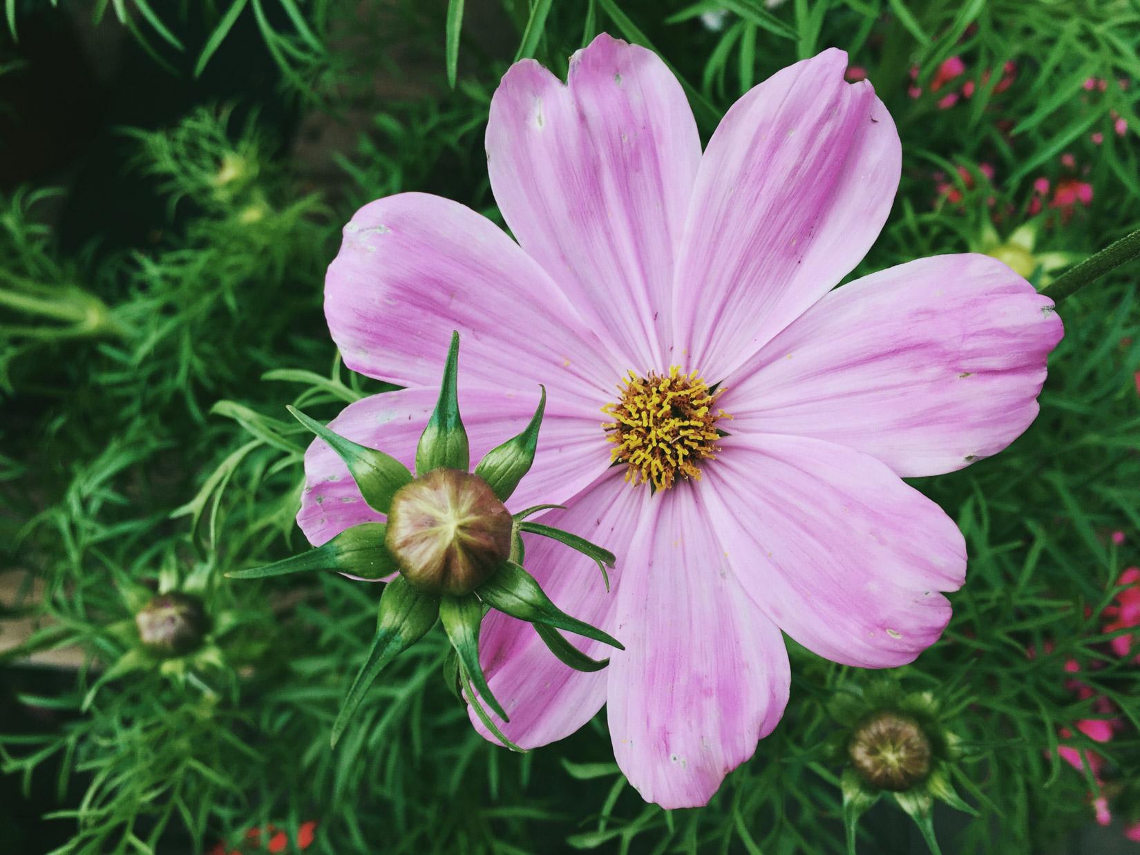 Purple Flower – FOCA