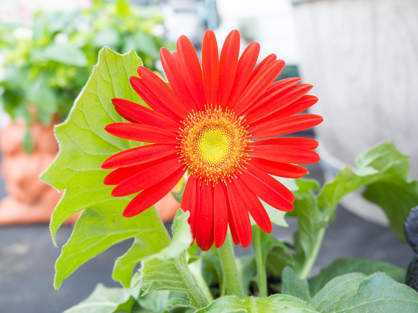 Red Flower – FOCA