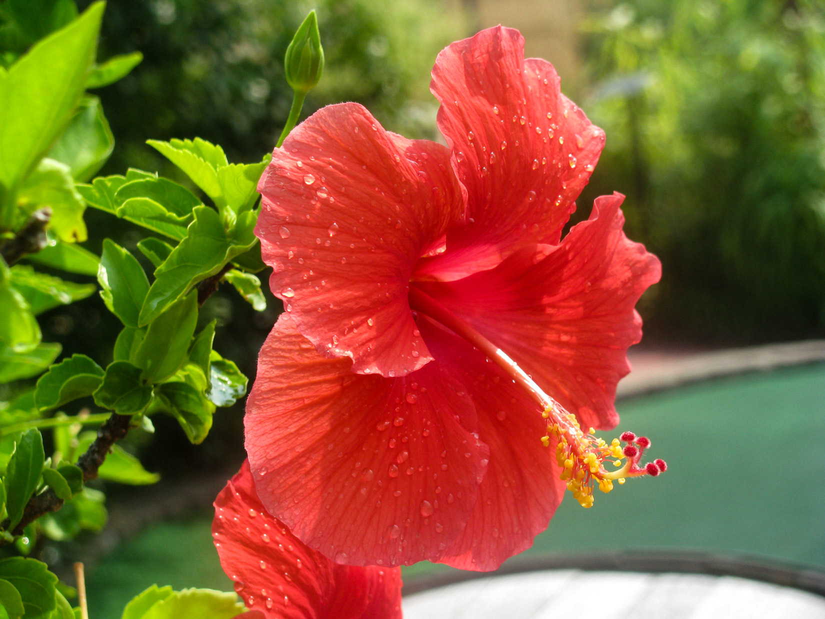 Red Summer Flower – FOCA