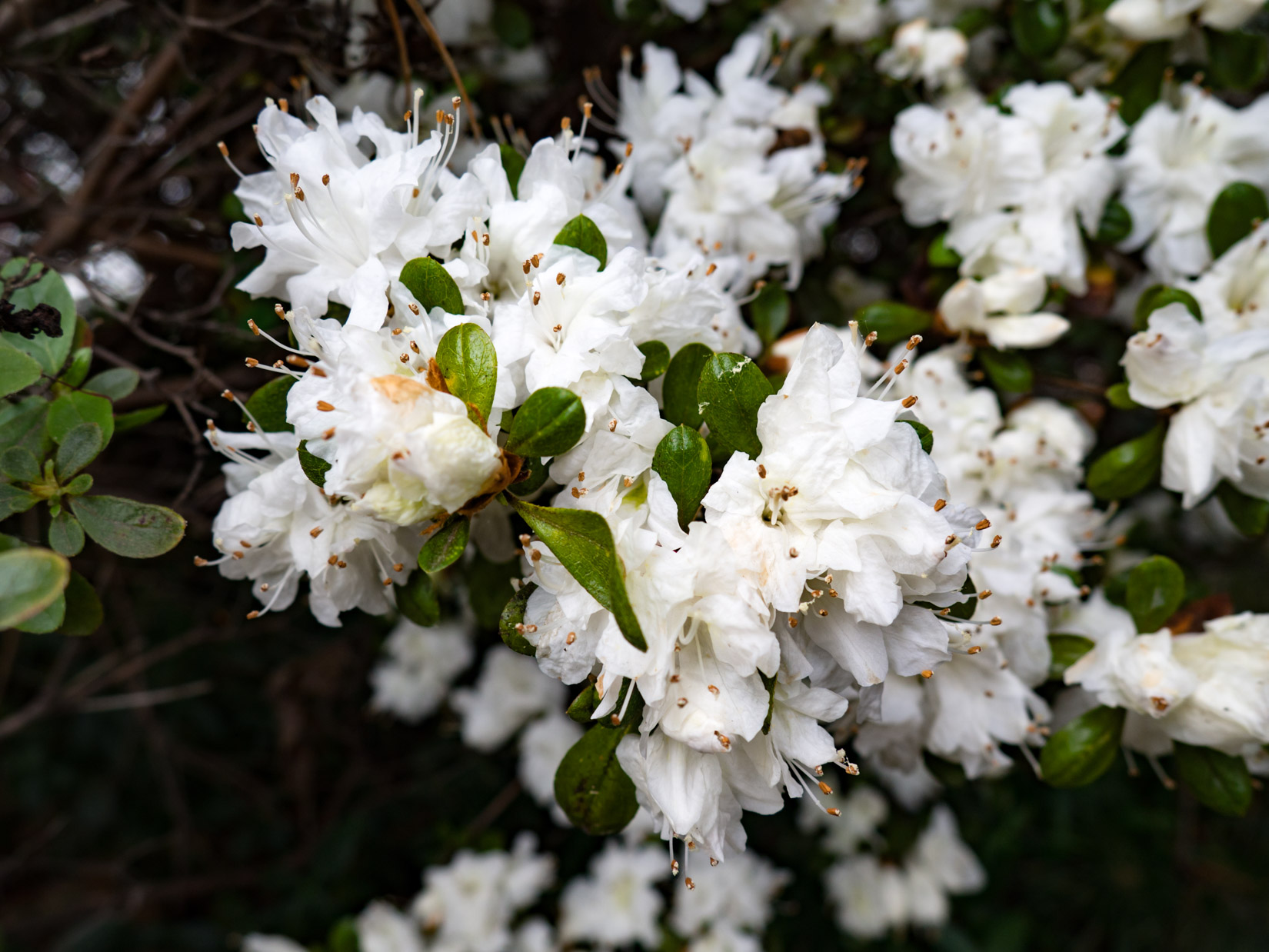 White Flowers on Bush