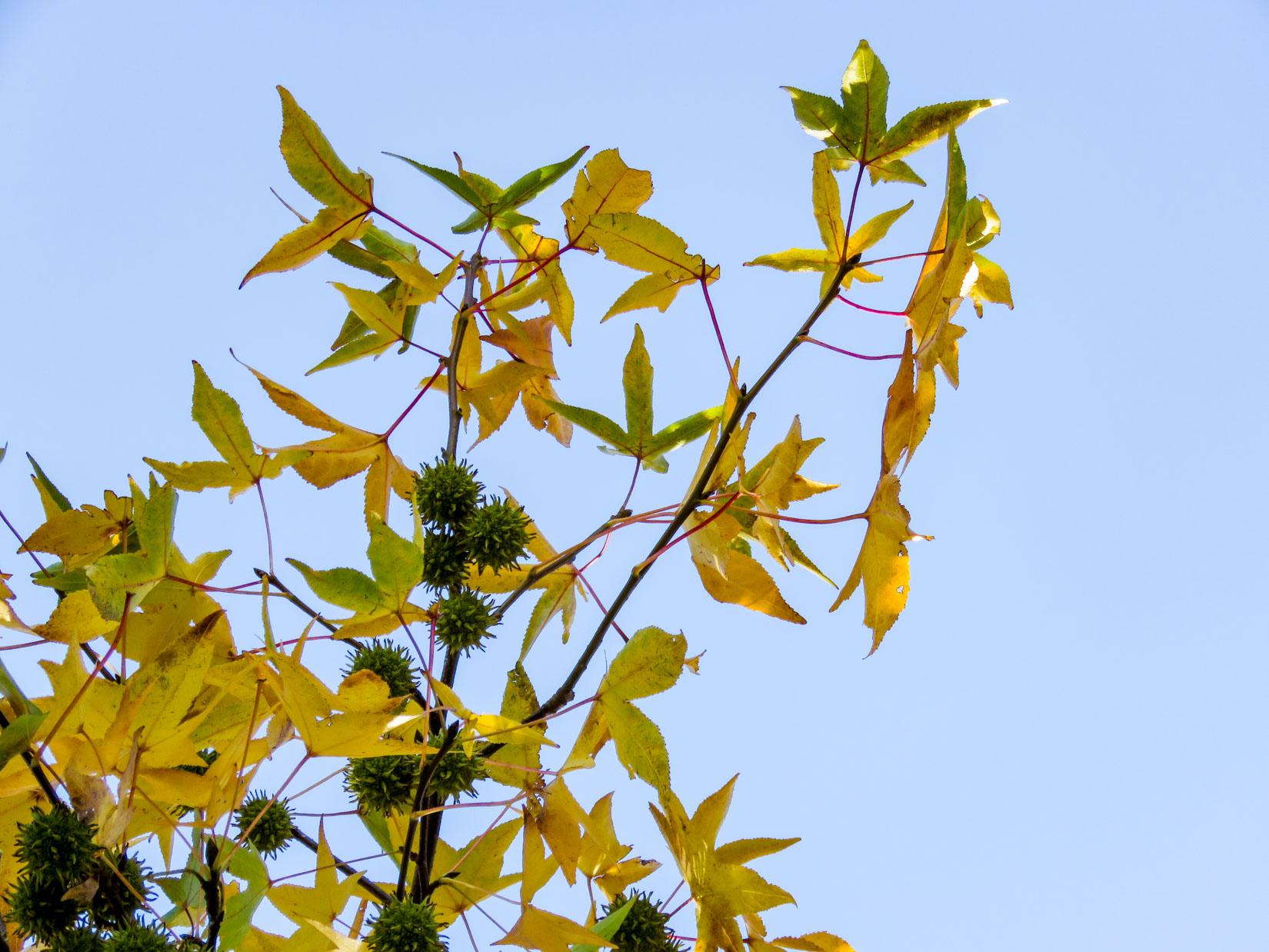 Fall Leaves on Tree