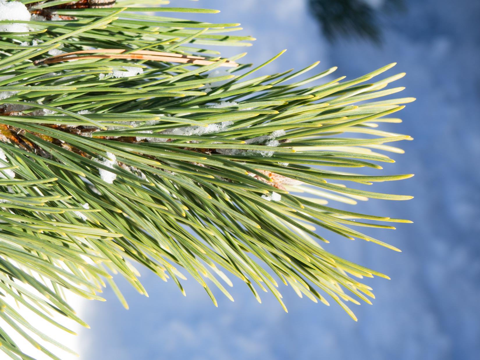 Pine Leaves with Snow