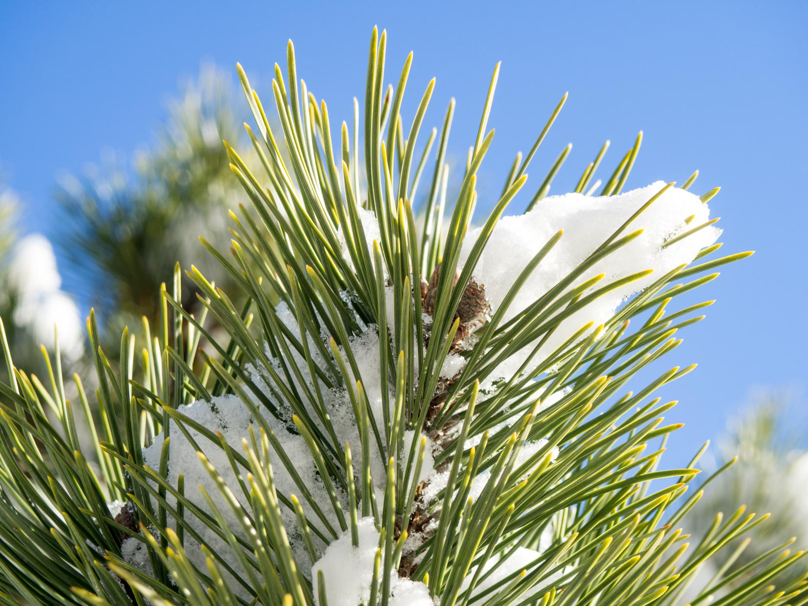 Pine Leaves Covered in Snow Under Blue Sky