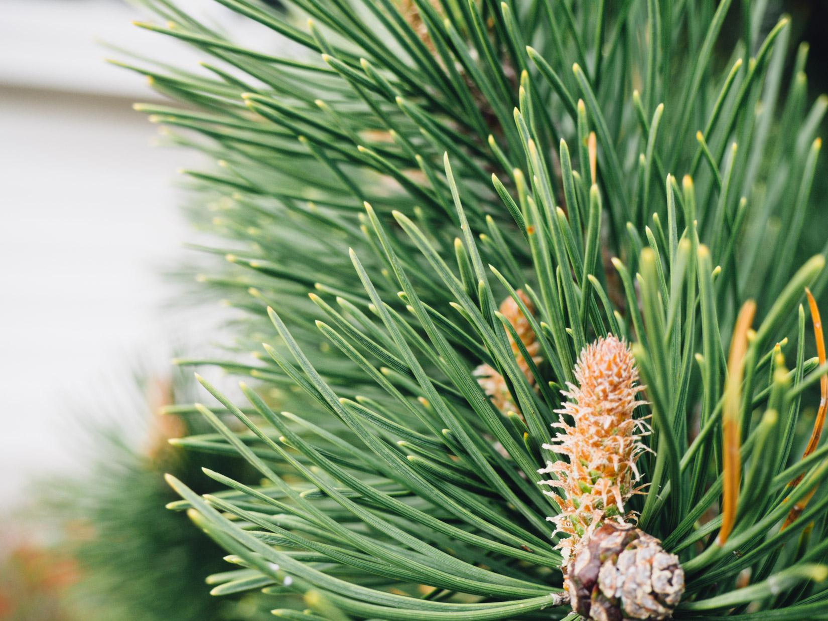 Pine Leaves on Tree