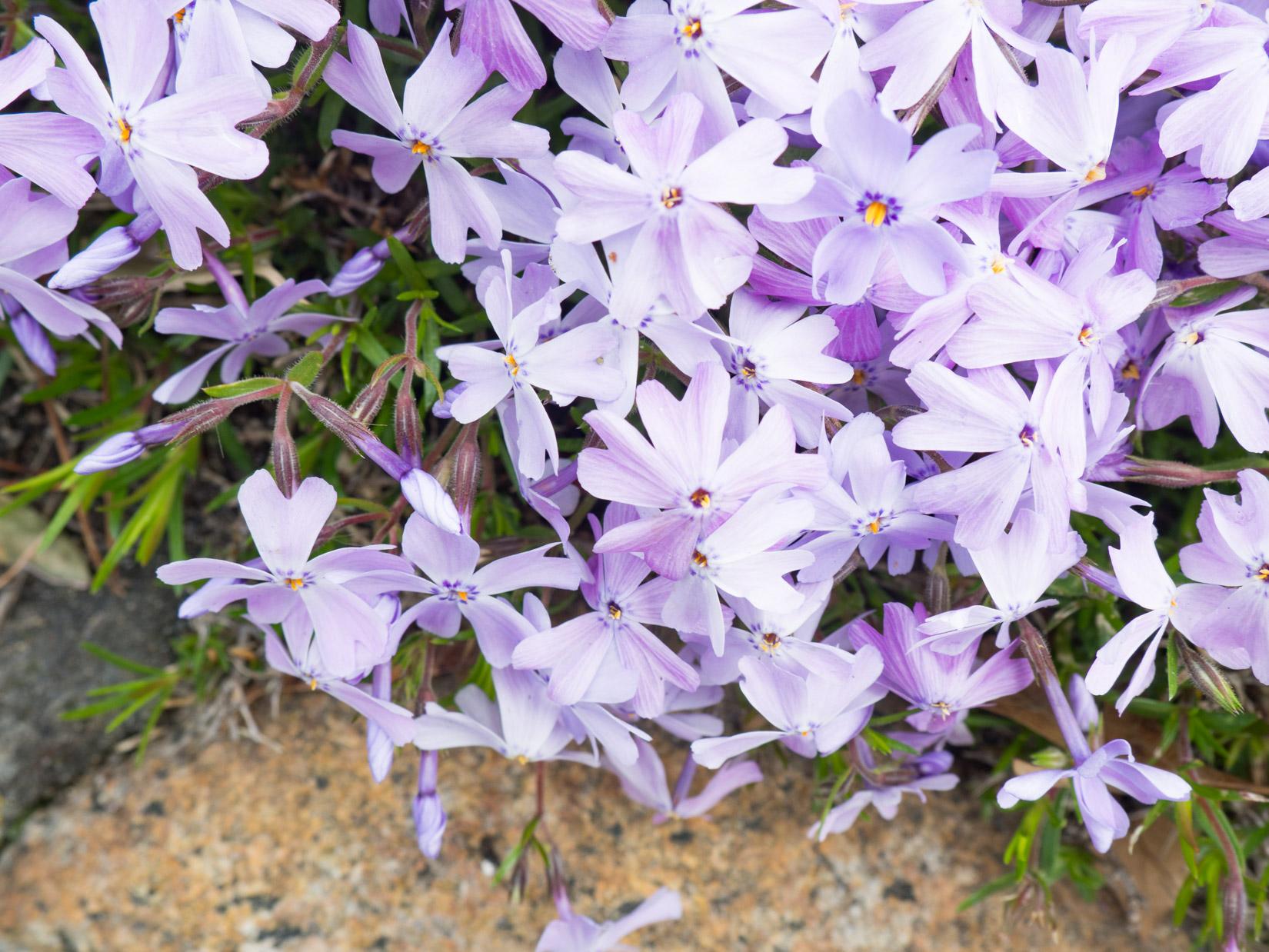 Purple White Flowers Mmt