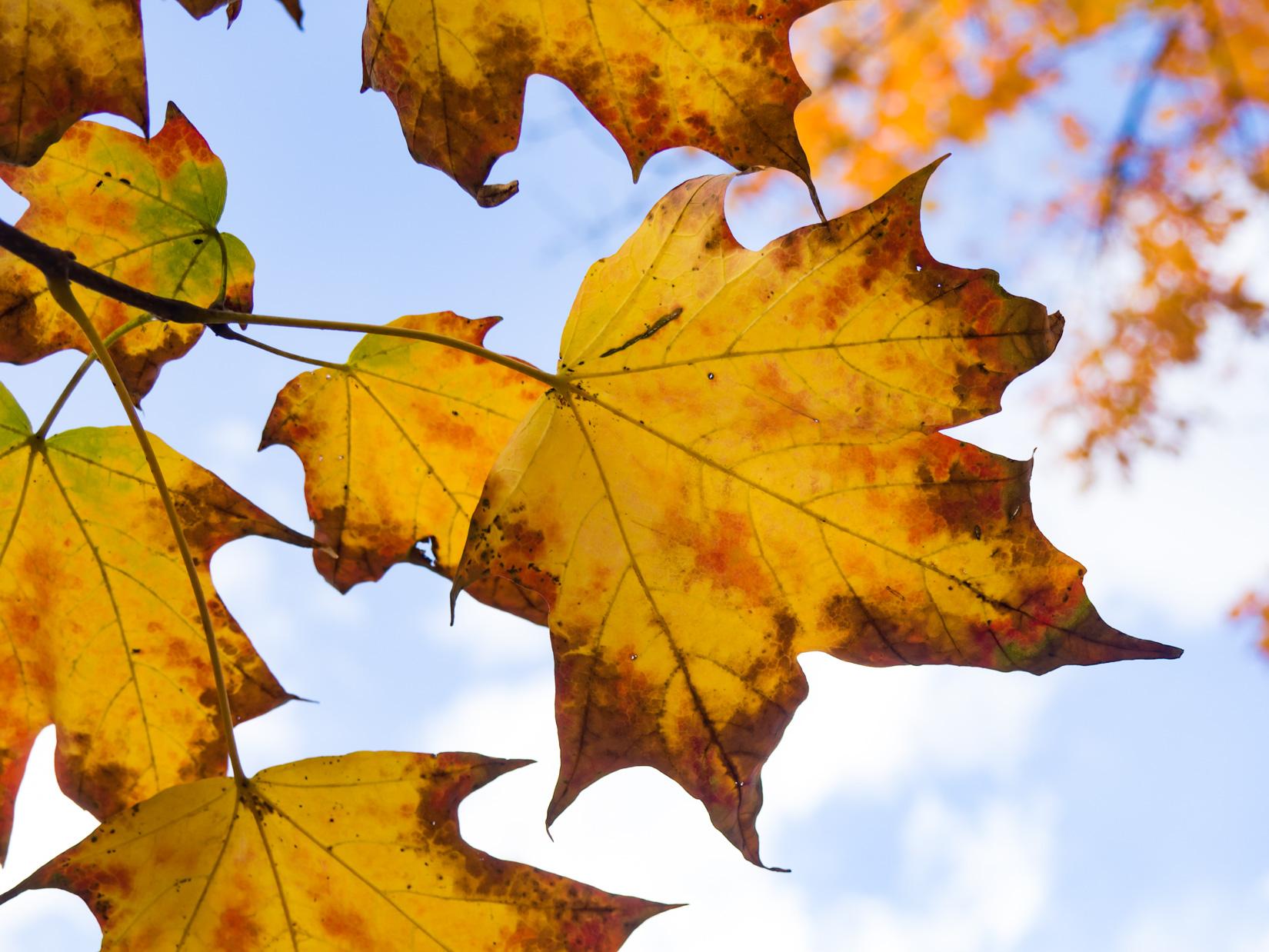 Fall Leaves – FOCA