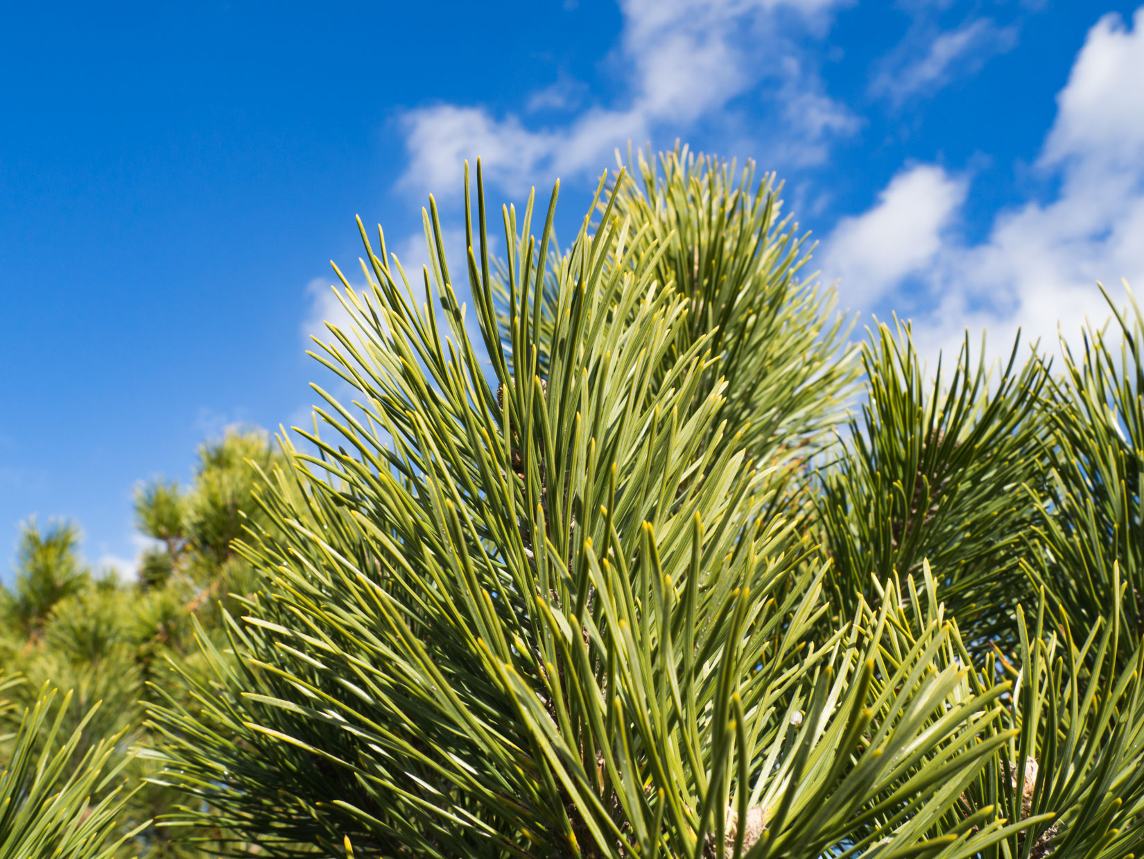Pine Trees Under Blue Sky
