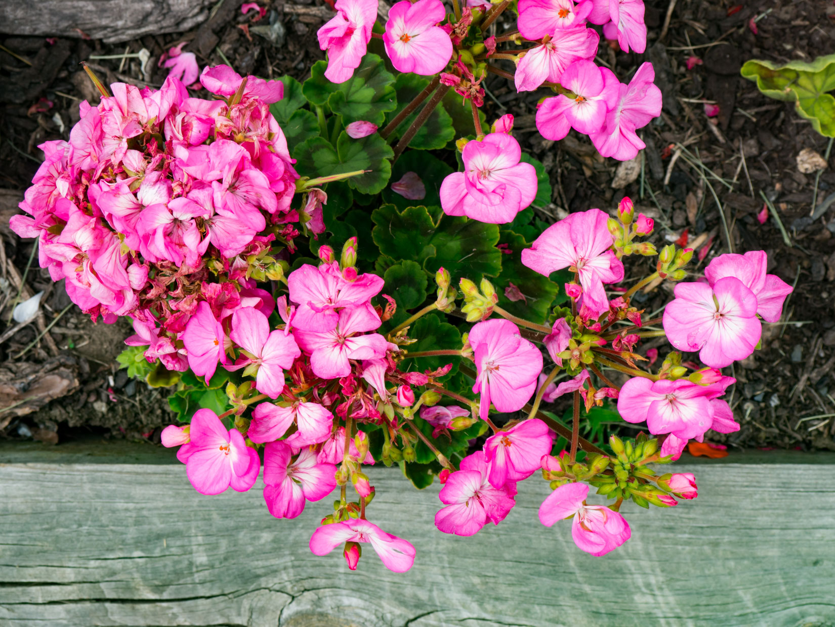 Pink Flowers Over Wood