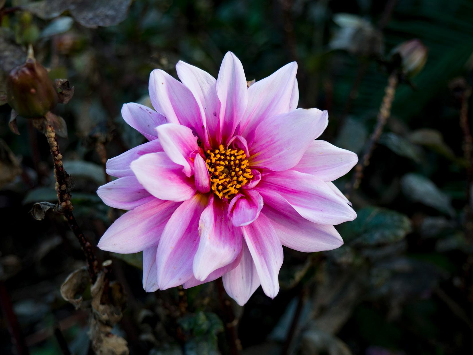 Pink Flower in Garden – FOCA