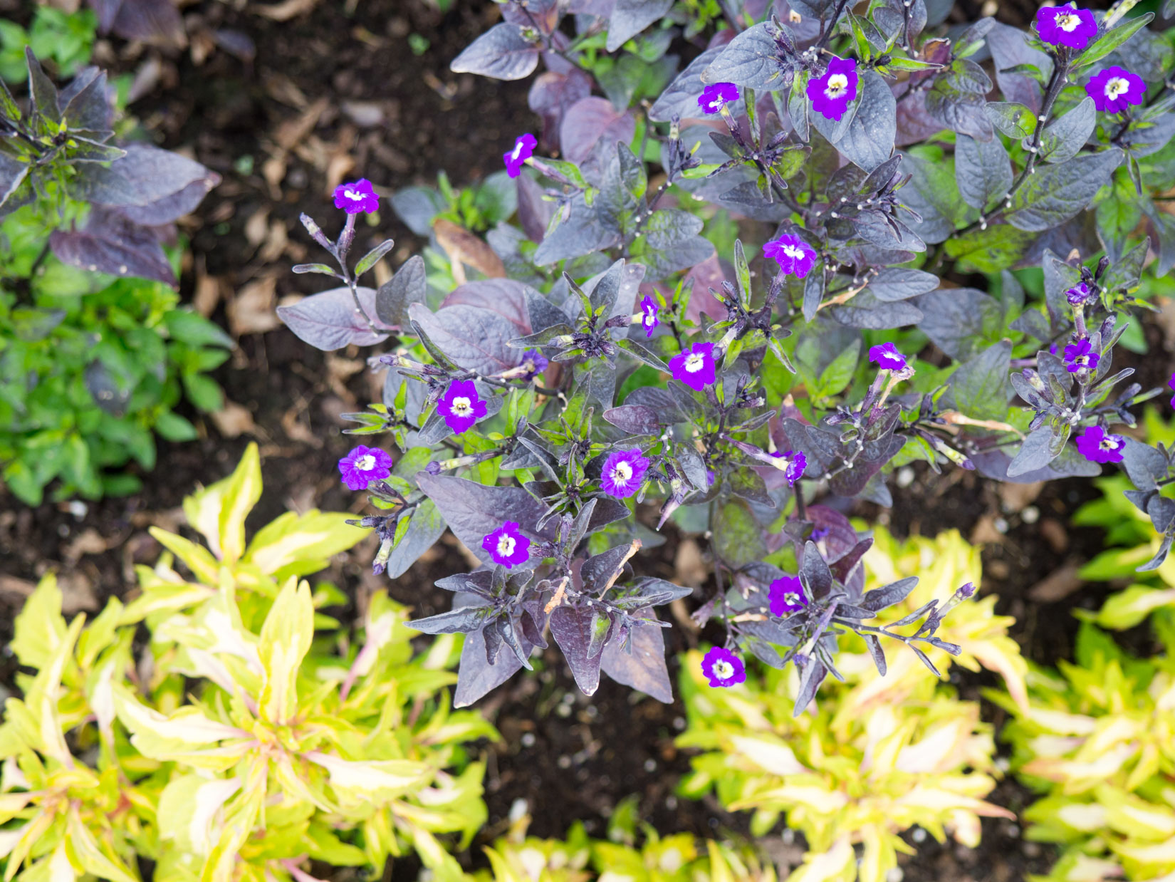Small Purple Flowers in Garden