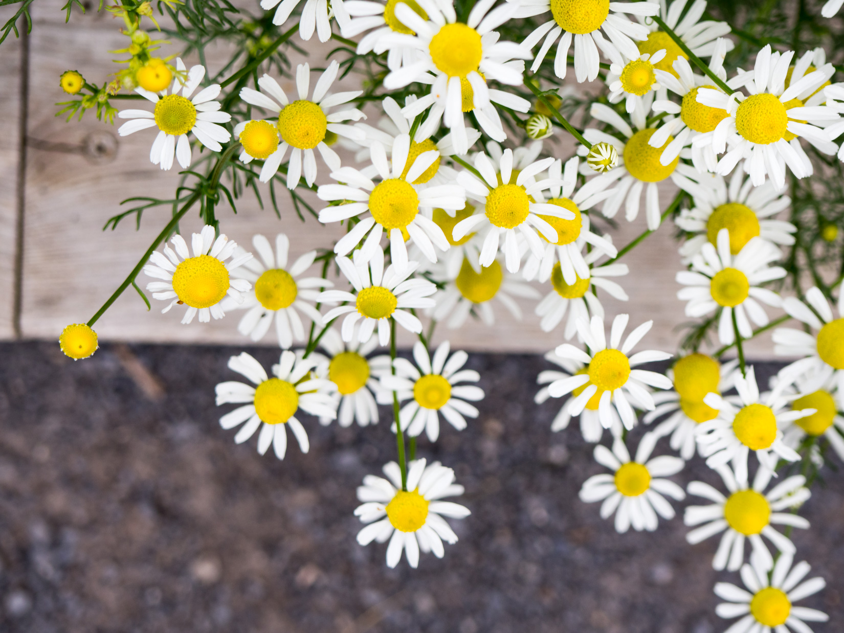 Yellow and White Flowers Over Sidewalk