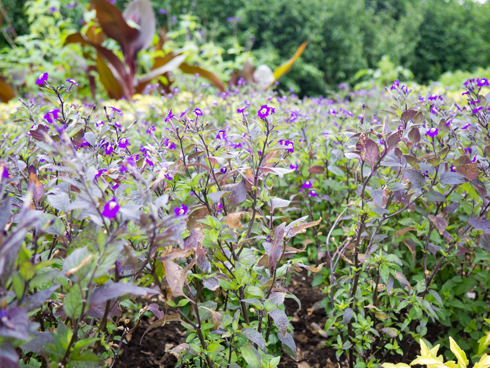 Many Purple Flowers in Garden