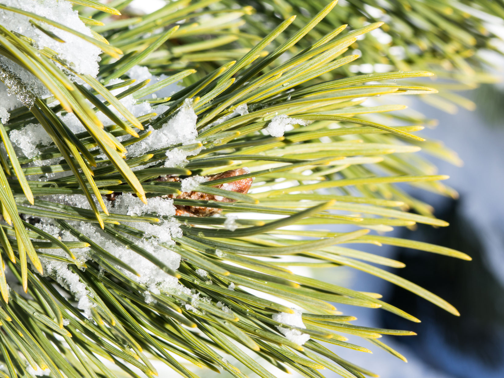 Pine Leaves with Snow and Ice