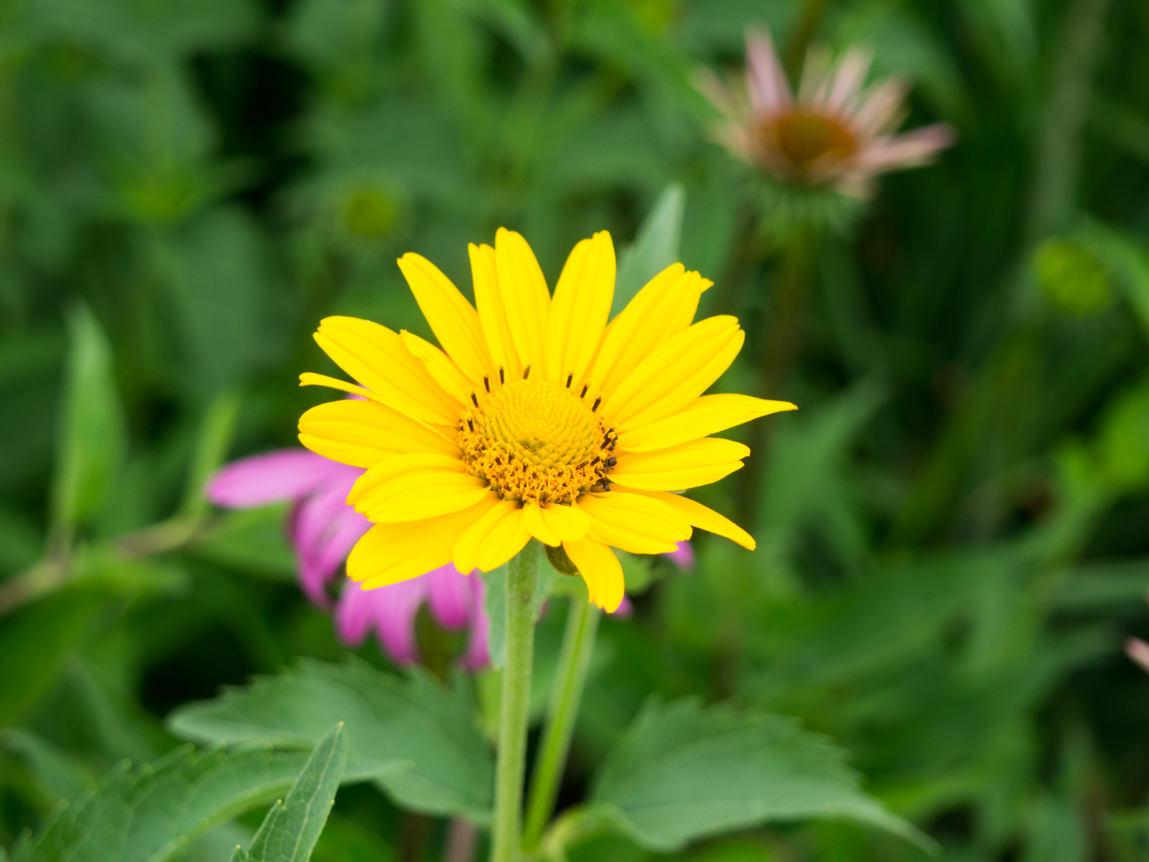 Yellow Flower in Garden – FOCA