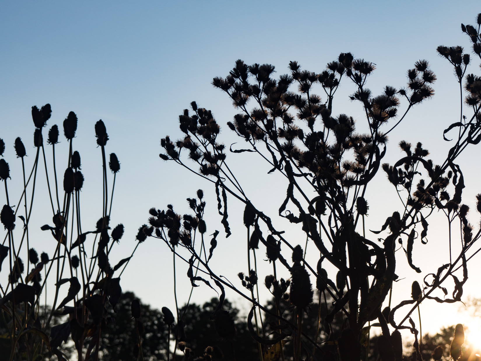 Flowers Silhouetted in Sunset