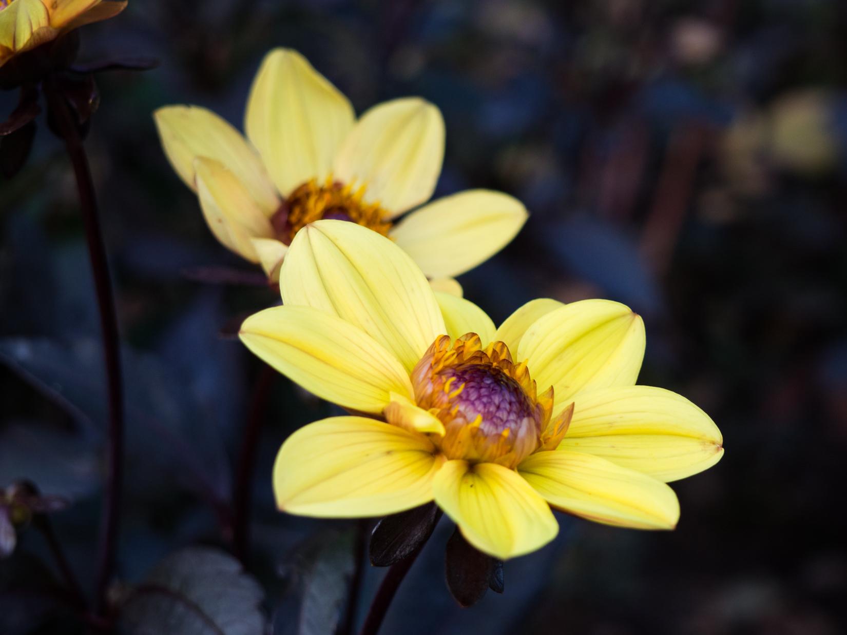 Yellow Flowers in Shadow – FOCA
