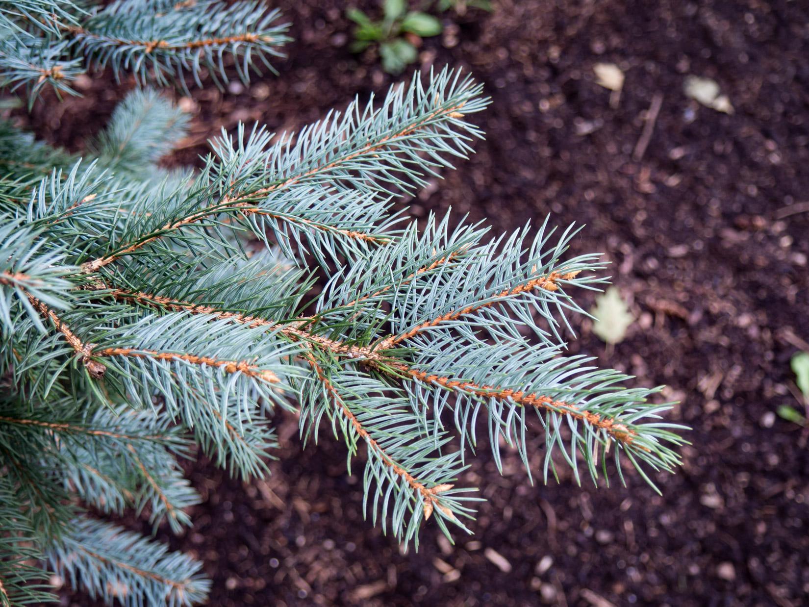 Pine Leaf Bush