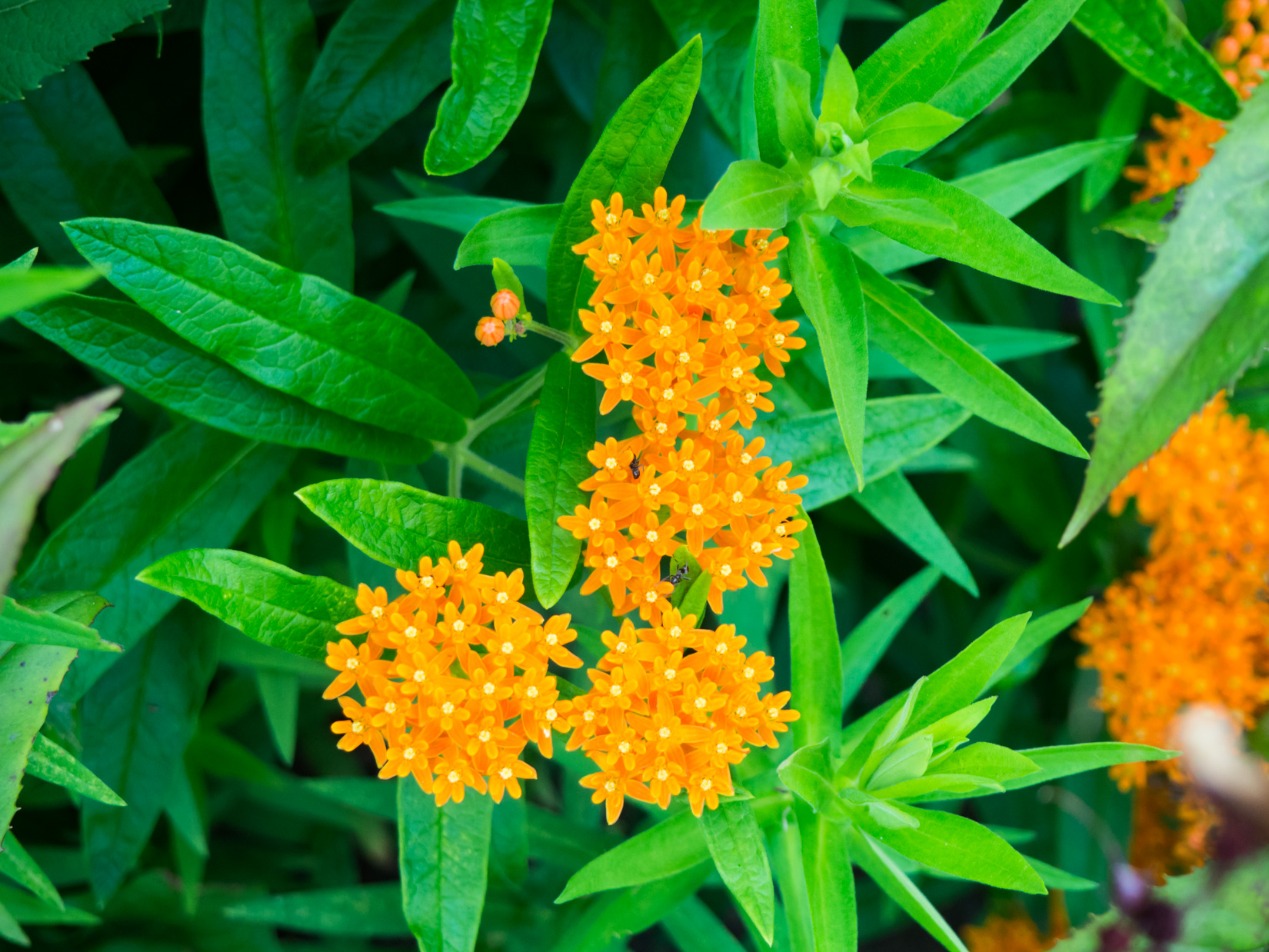 Orange Flowers with Ants
