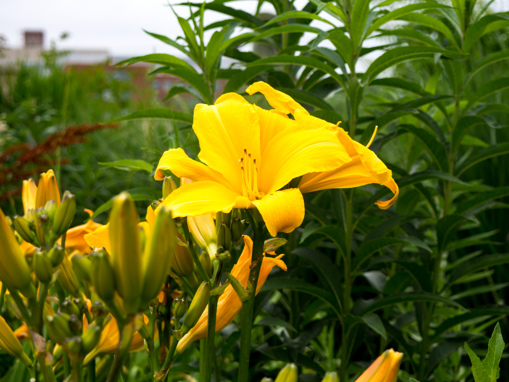 Blooming Yellow Flower in Garden