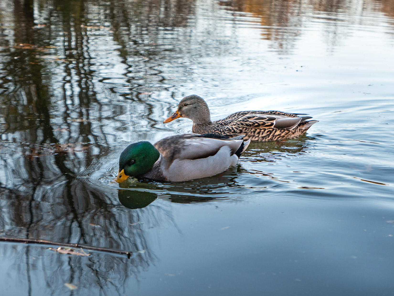 Ducks in Water