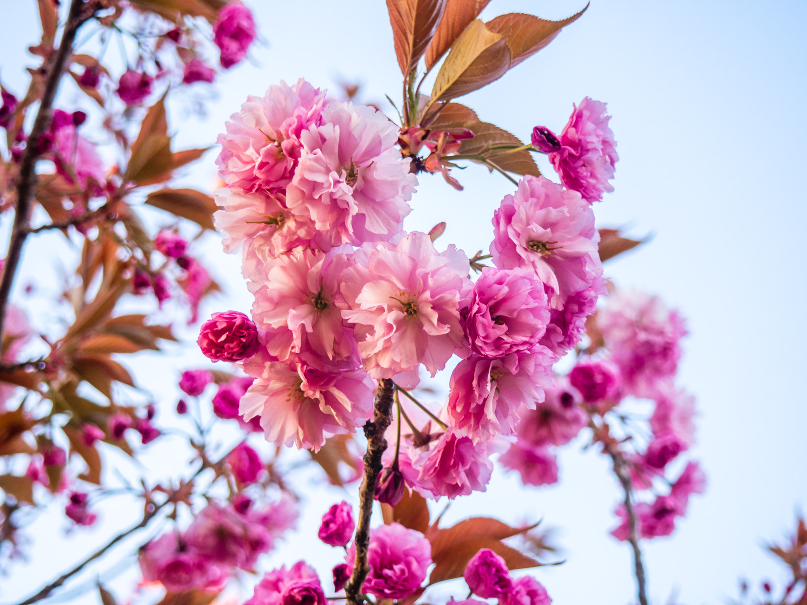 Pink Flowers in Tree