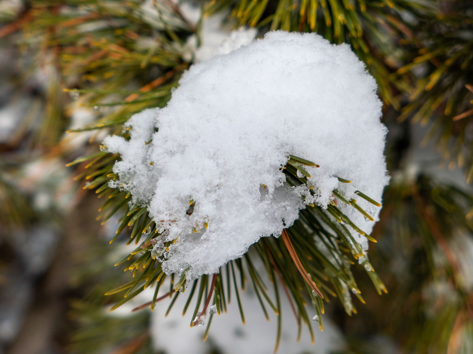 Snow on Pine Tree Bush