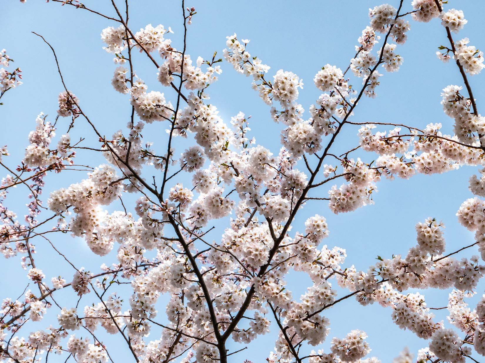 Cherry Blossoms Under Blue Sky